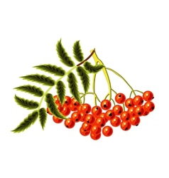 Rowan on a white background vector image