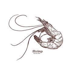 shrimp sketch style vector image