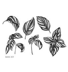 Set hand drawn black and white basil vector