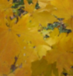 Autumn maple blurred photo background image vector