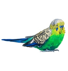 Budgies watercolor vector