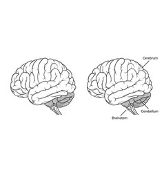 Human brain anatomy side view outline vector