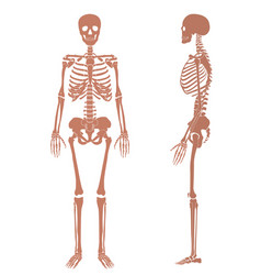 human skeleton silhouette set vector image