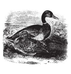 Mallard duck vintage vector