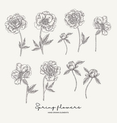 Hand drawn peonies spring flowers set garden vector