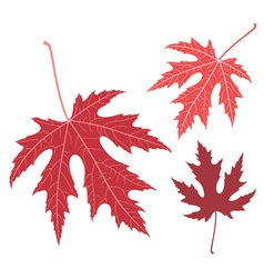 Red leaf maple vector
