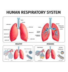 Human lung anatomy infographics vector