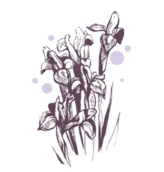 iris flowers hand-drawn vector image