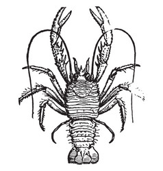 Squat lobster vintage vector