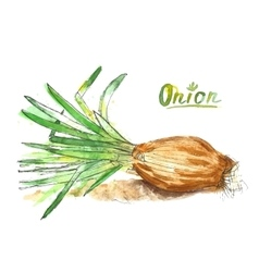 Watercolor onion vector