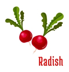 Radish tuber vegetable plant icon vector image