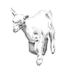 Small goat isolated on the white vector