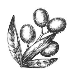 agricultural olive tree branch vintage vector image