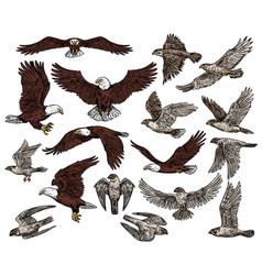 Birds prey predatory eagle and hawk falcons vector