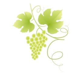 Beautiful green grape vine vector