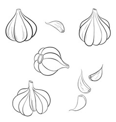 drawing garlic vector image