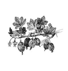 Hand drawn gooseberry branch vector