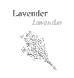 Lavender herb spice sketch drawing lavender vector