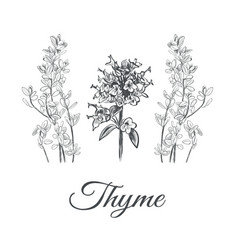 thyme set collection of thyme vector image vector image