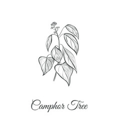camphor tree camphor tree vector image