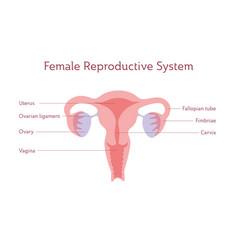Isolated uterus vector