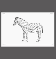 high detail hand drawn zebra sketch vector image