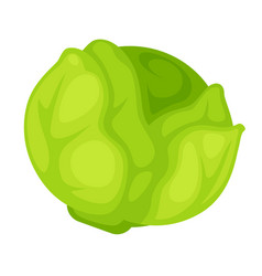 Green organic cabbage vector