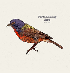 Painted bunting passerina ciris is a species vector