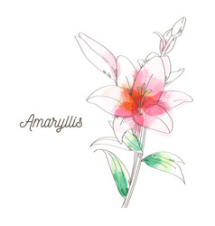 amaryllis flower painting on white background vector image