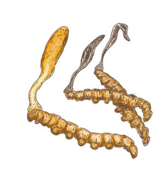 cordyceps on a white background vector image