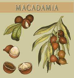 hand drawn macadamia nut and branch vector image