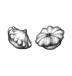 ink sketch pattypan squash vector image