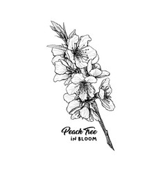 peach flowers hand drawn sketch vector image