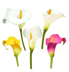 Collection of coloured arum lilies on white vector