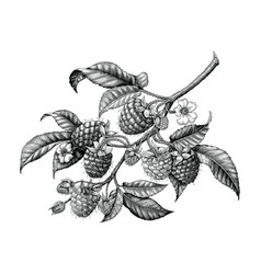 raspberry branch hand drawing black and white vector image