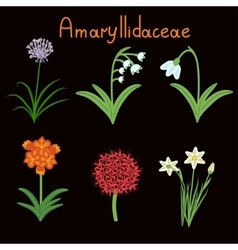 Amaryllidaceae plant family vector