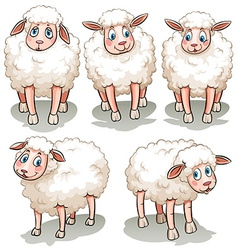 Five white sheeps vector image
