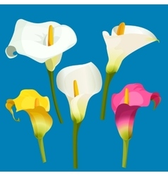 Set of calla lily in white pink and yellow color vector