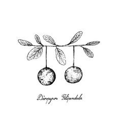 Hand drawn of diospyros filipendula fruits on whit vector