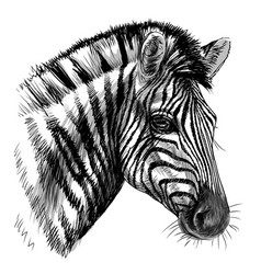 zebra sketch black and white drawn portrait vector image