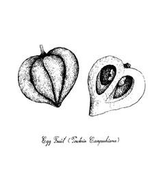 Hand drawn of canistel or eggfruit on white backgr vector