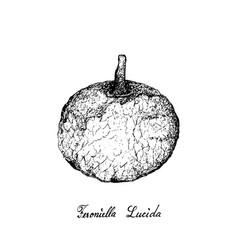 Hand drawn of feroniella lucida fruits on white ba vector