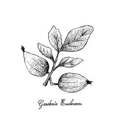 Garcinia acuminata sour charichuelo azedo bac vector