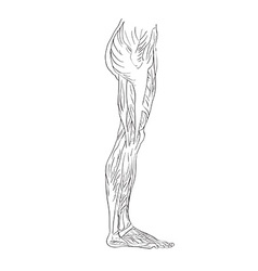 leg muscles lateral vector image