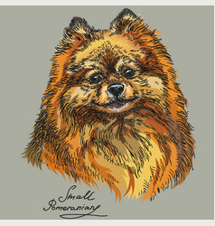 Small pomeranian hand drawing in color vector