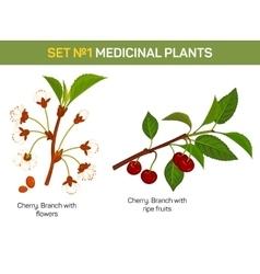 Medicinal or medical plant - branch cherry vector