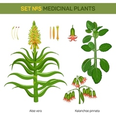 Aloe vera and kalanchoe pinnata medical plants vector