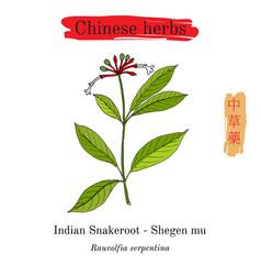 Medicinal herbs of china indian snakeroot vector