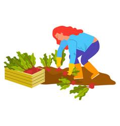 planting vegetable woman gardening beet vector image