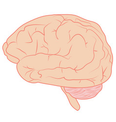 Brain realistic color 1d vector